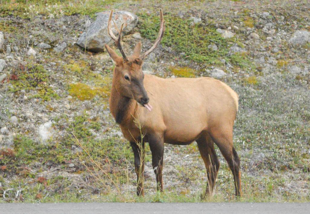A young male elk sticking out his tongue