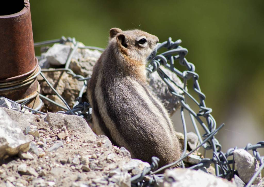 A close image of a chipmunk surrounded by wire on a cliff