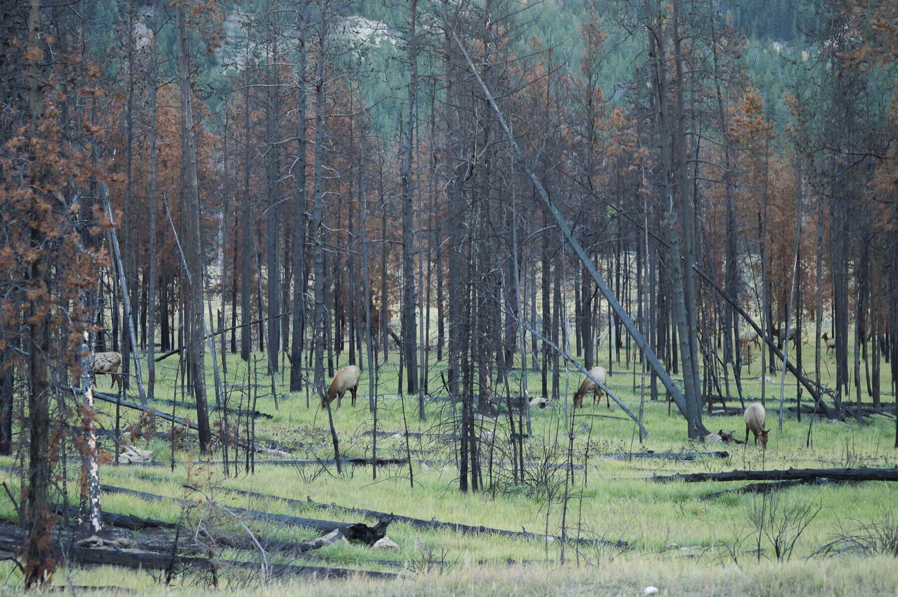 A gang of elk grazing around a group of burnt trees