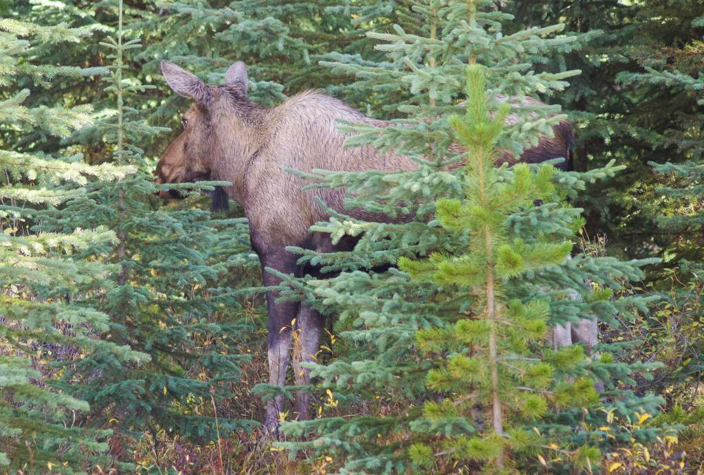A female Moose standing amongst the Pine Trees