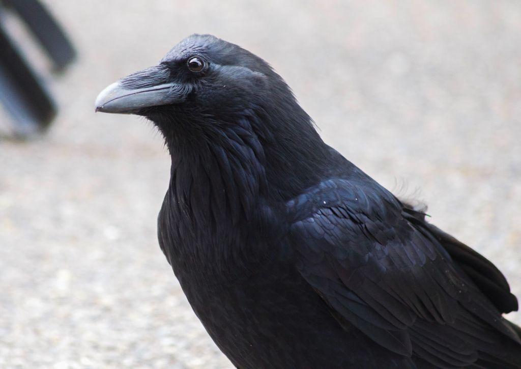 A black raven looking curious