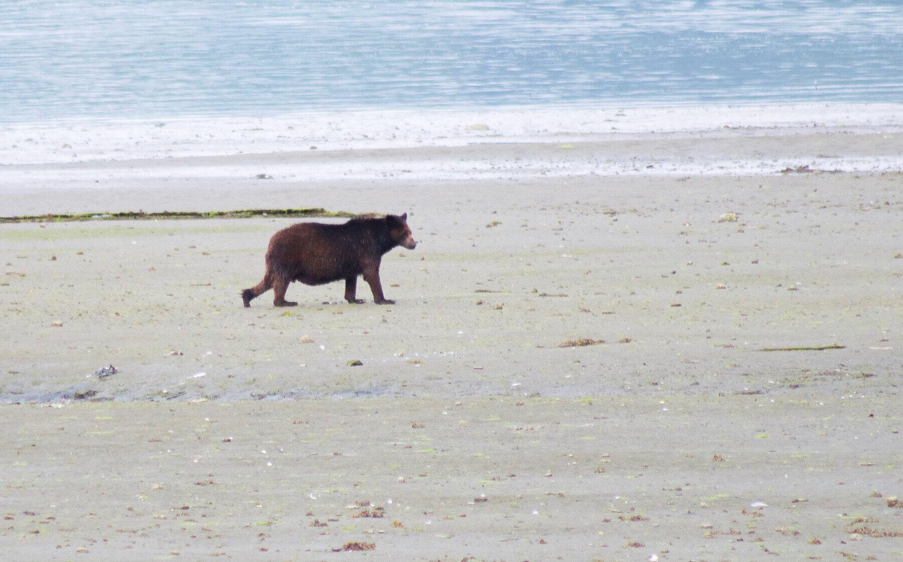 A chubby black bear walking along the beach