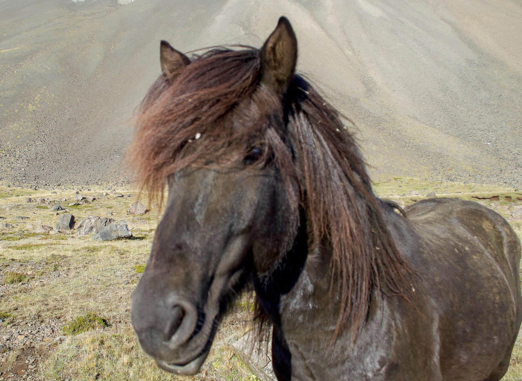 A dirty black Icelandic pony