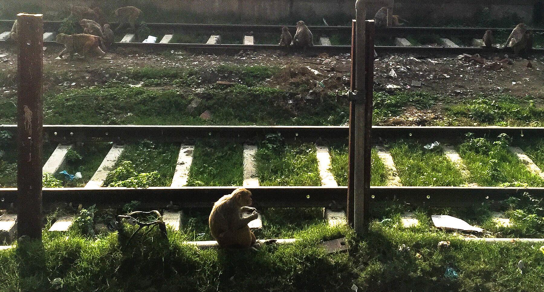 14 monkeys on a railway track