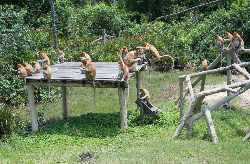 Group of Proboscis Monkeys feeding on a platoon