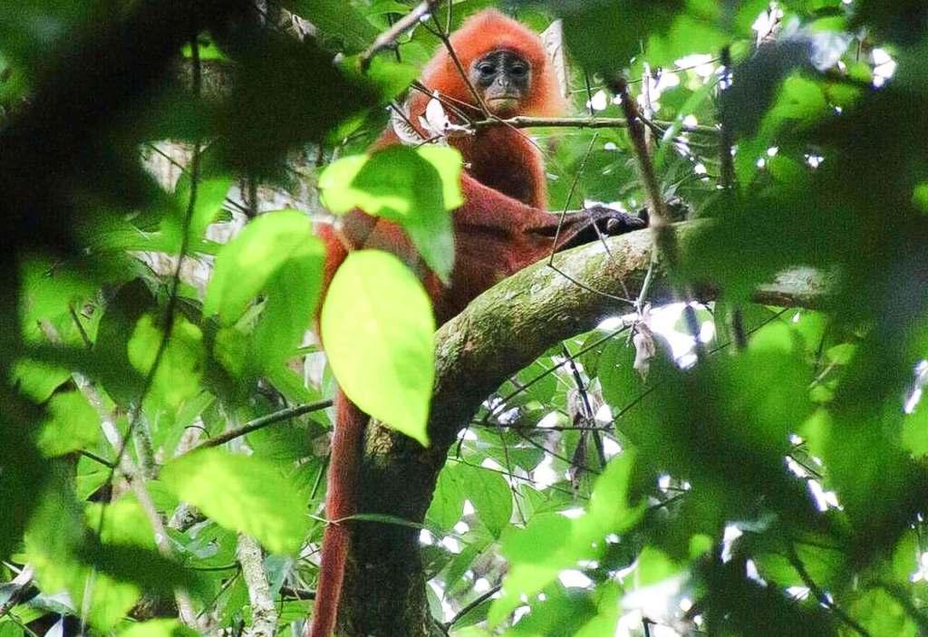 Red Leaf Monkey in a tree amongst green leaves