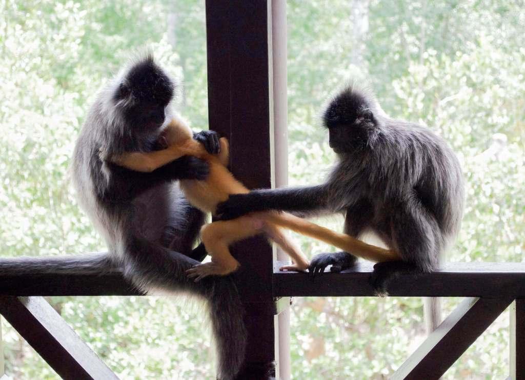 2 silver leaf monkeys tugging on a golden baby