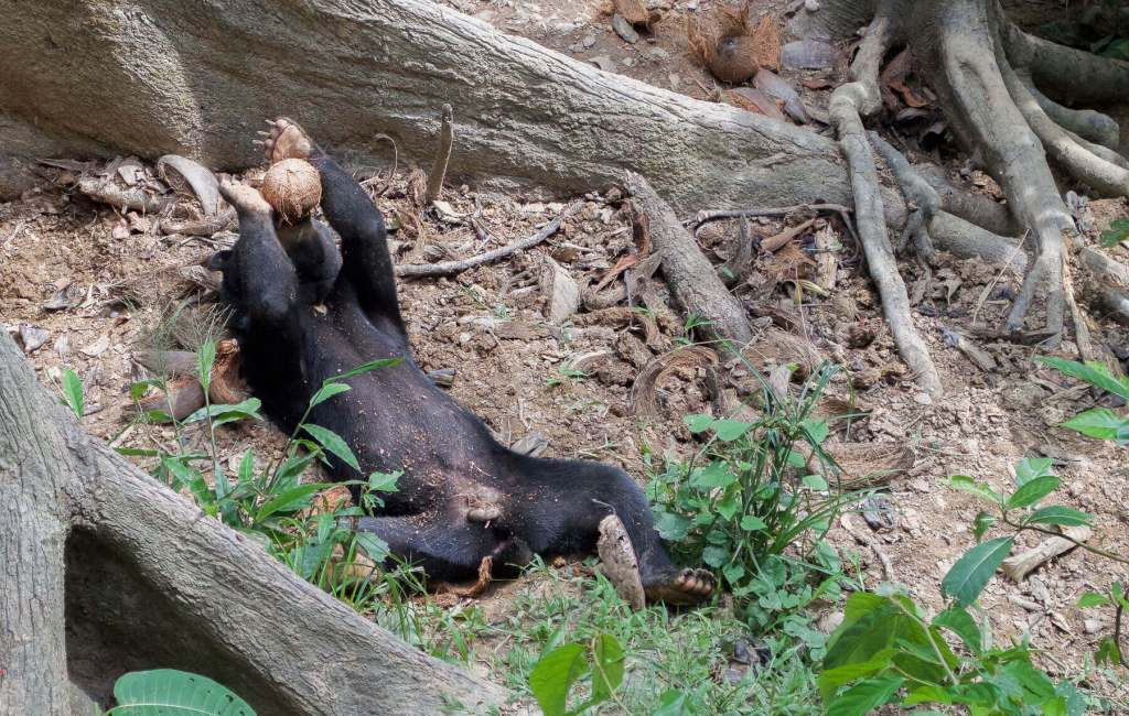 Sun Bear drinking a Coconut on its back
