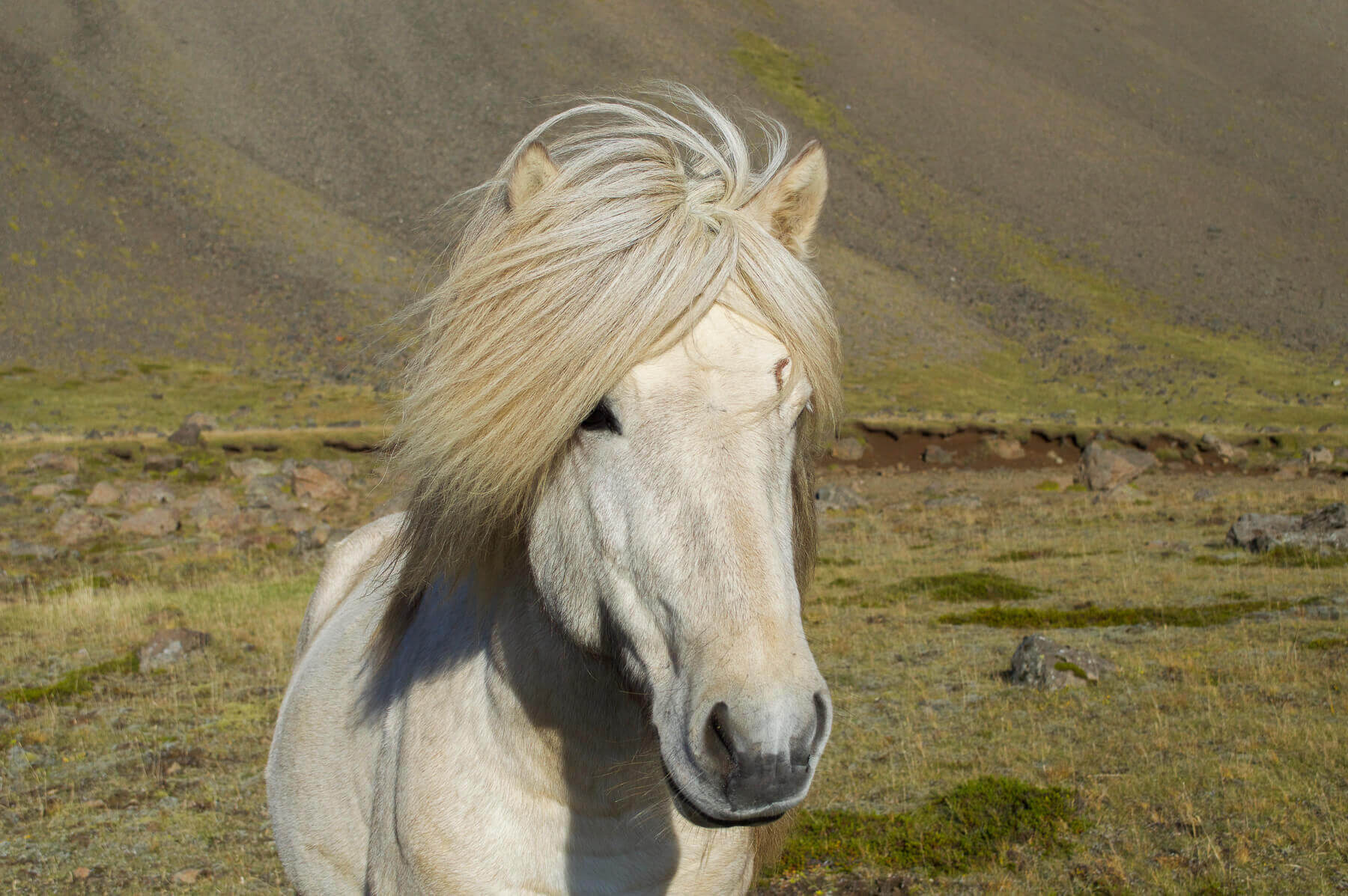 White Icelandic pony in the wind