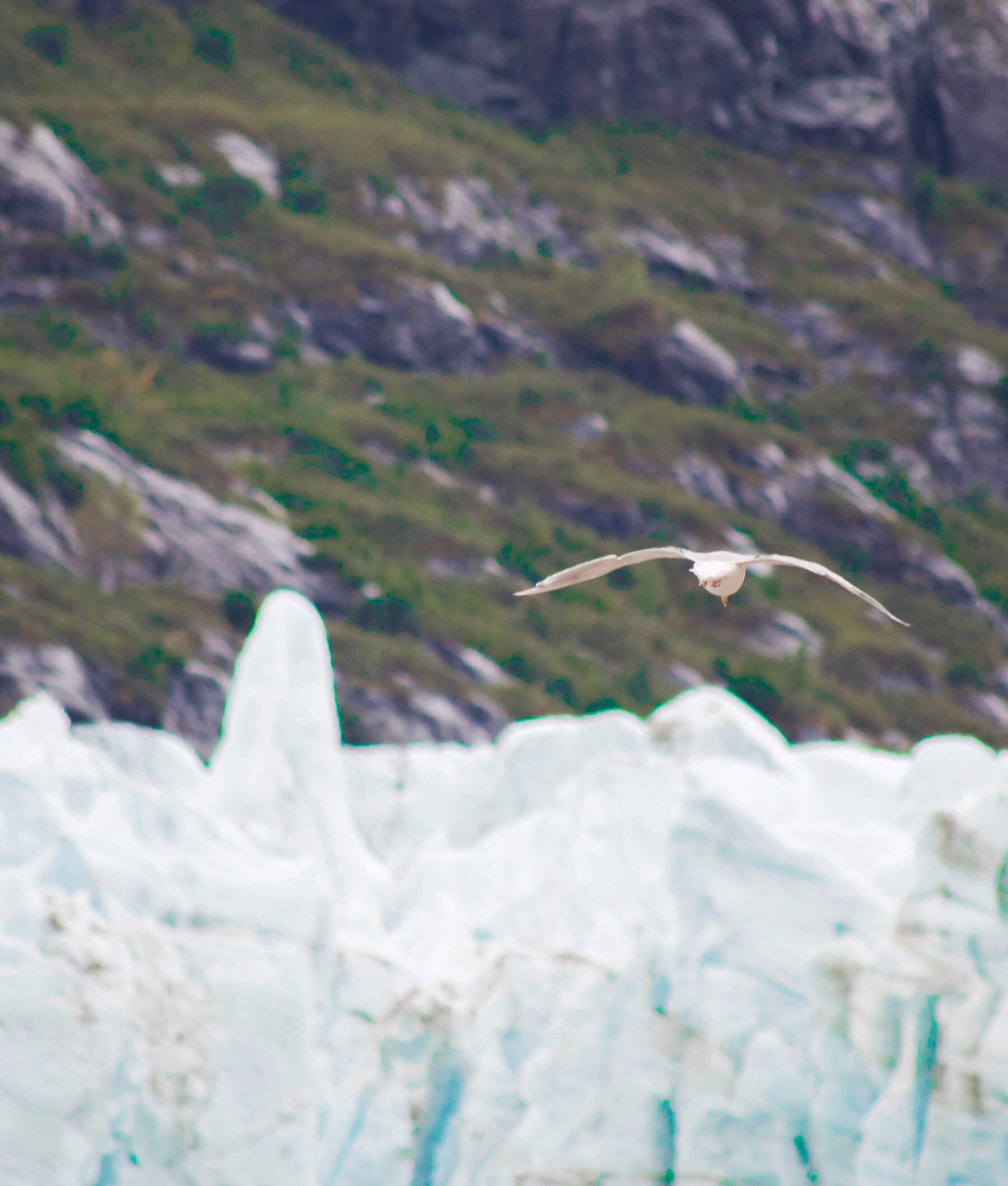 Seagull flying away above Glacier