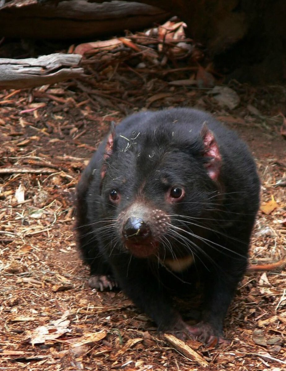 Black Tasmanian Devil looking towards camera