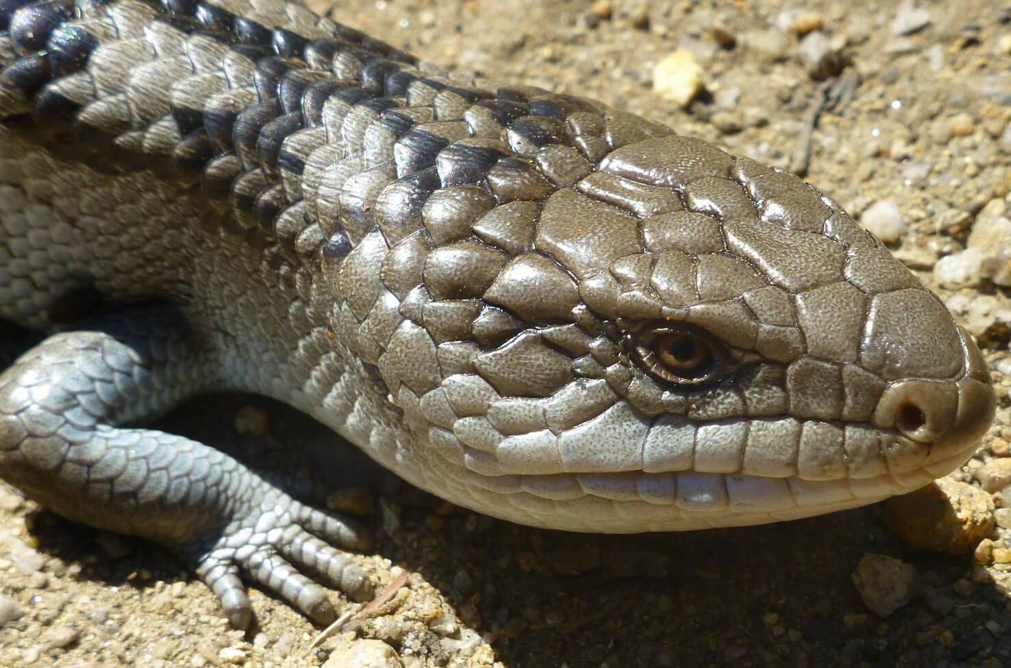 Head of a scaled blue tongue Lizard