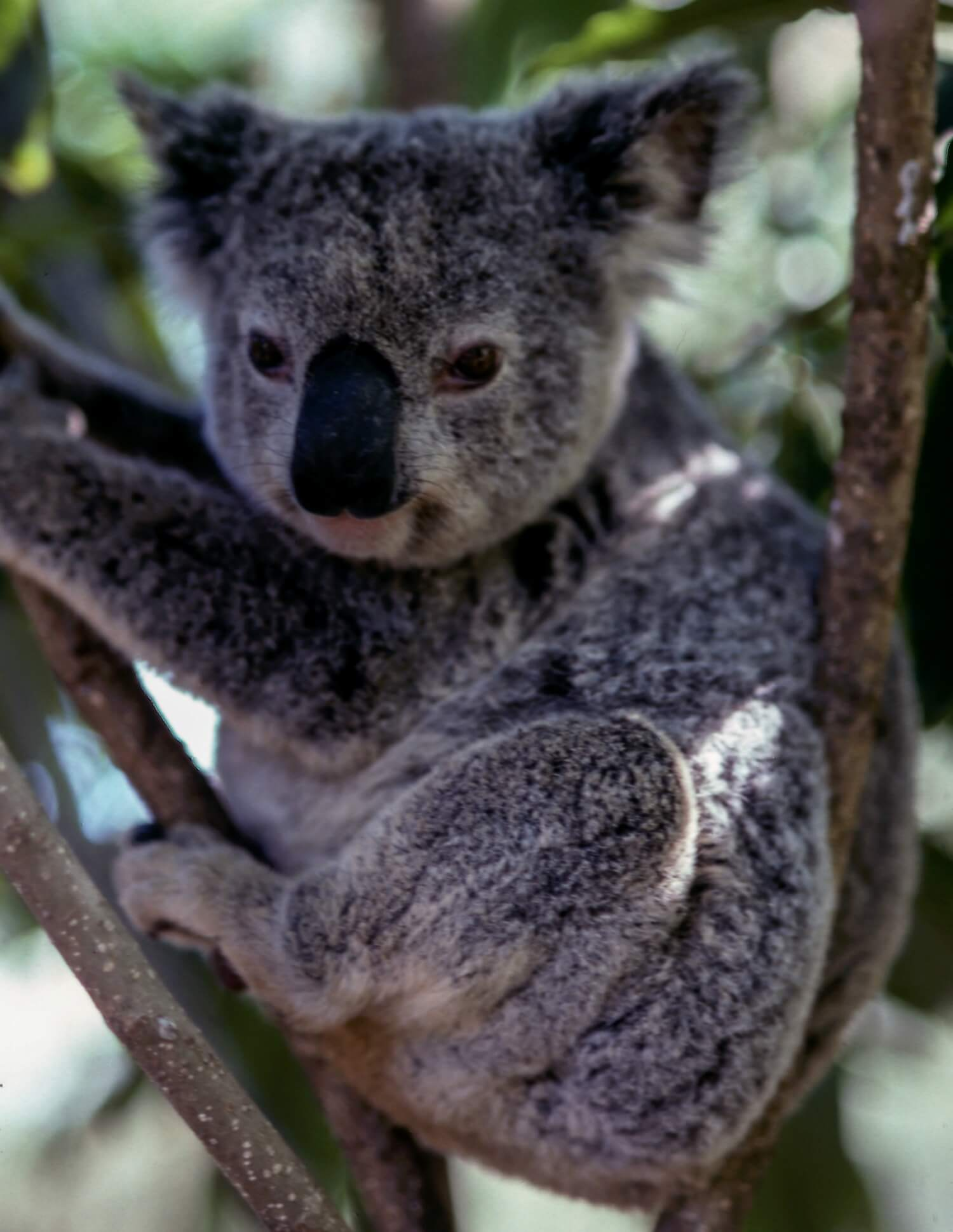 Koala sitting in a tree, looking to the side of camera