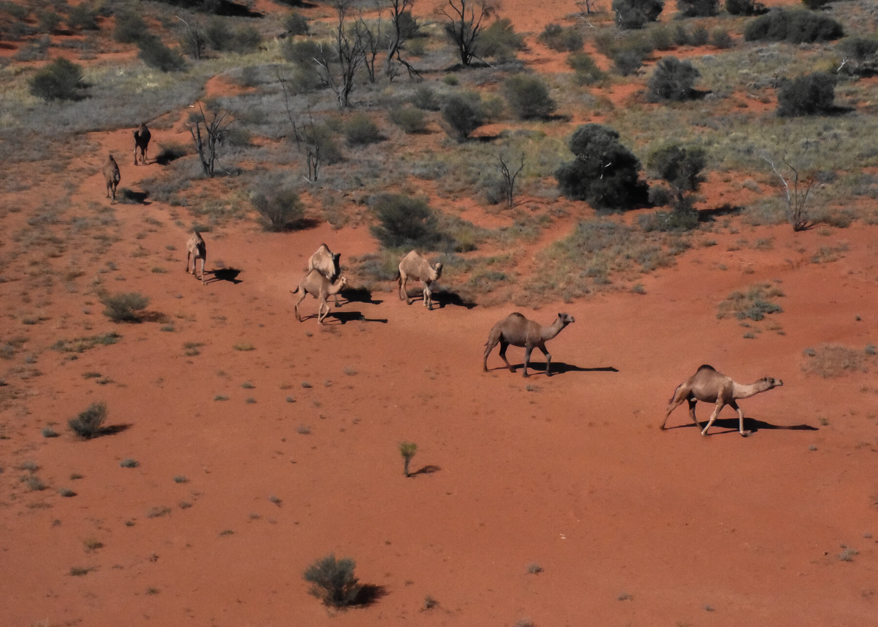 8 camels roaming through the red centre