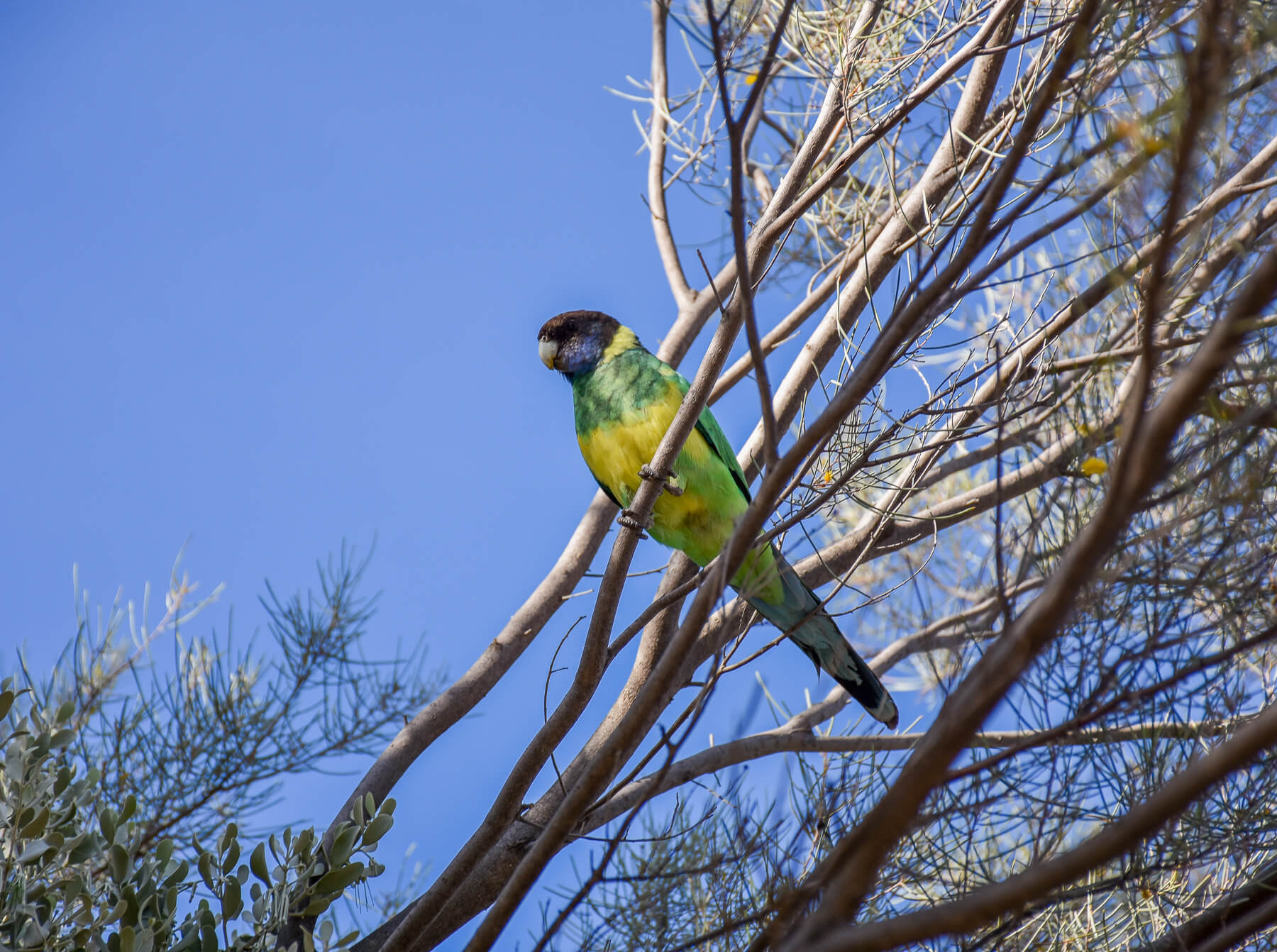 Green/Yellow Parrot with Black Head, perched on a branch