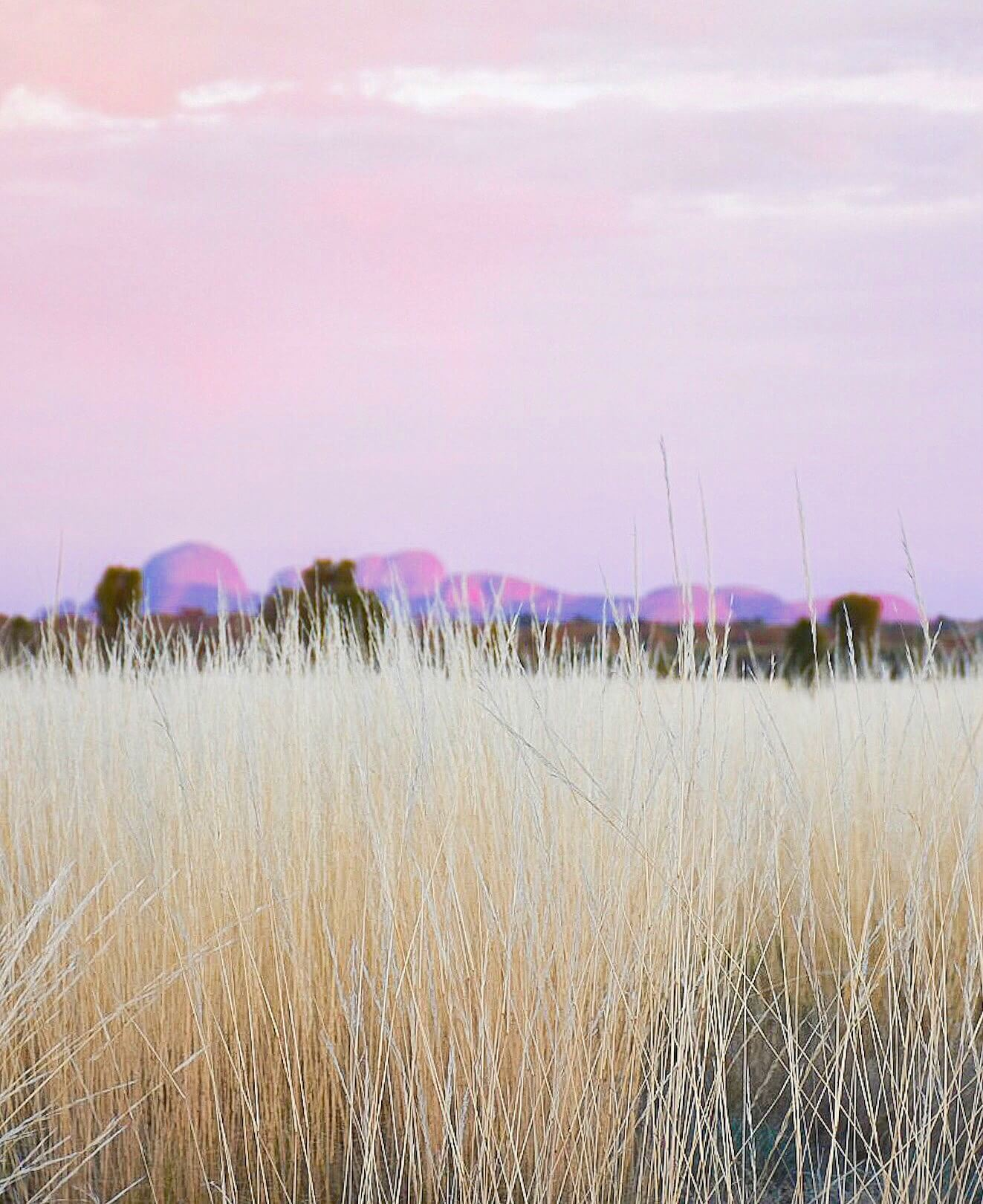 Reeds in the foreground with Kata Tjuta domes appearing in the distance below pink sky