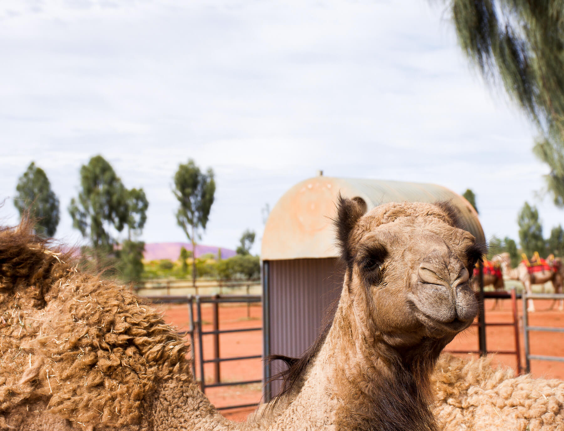 Happy, smiling baby camel with Uluru in the distance