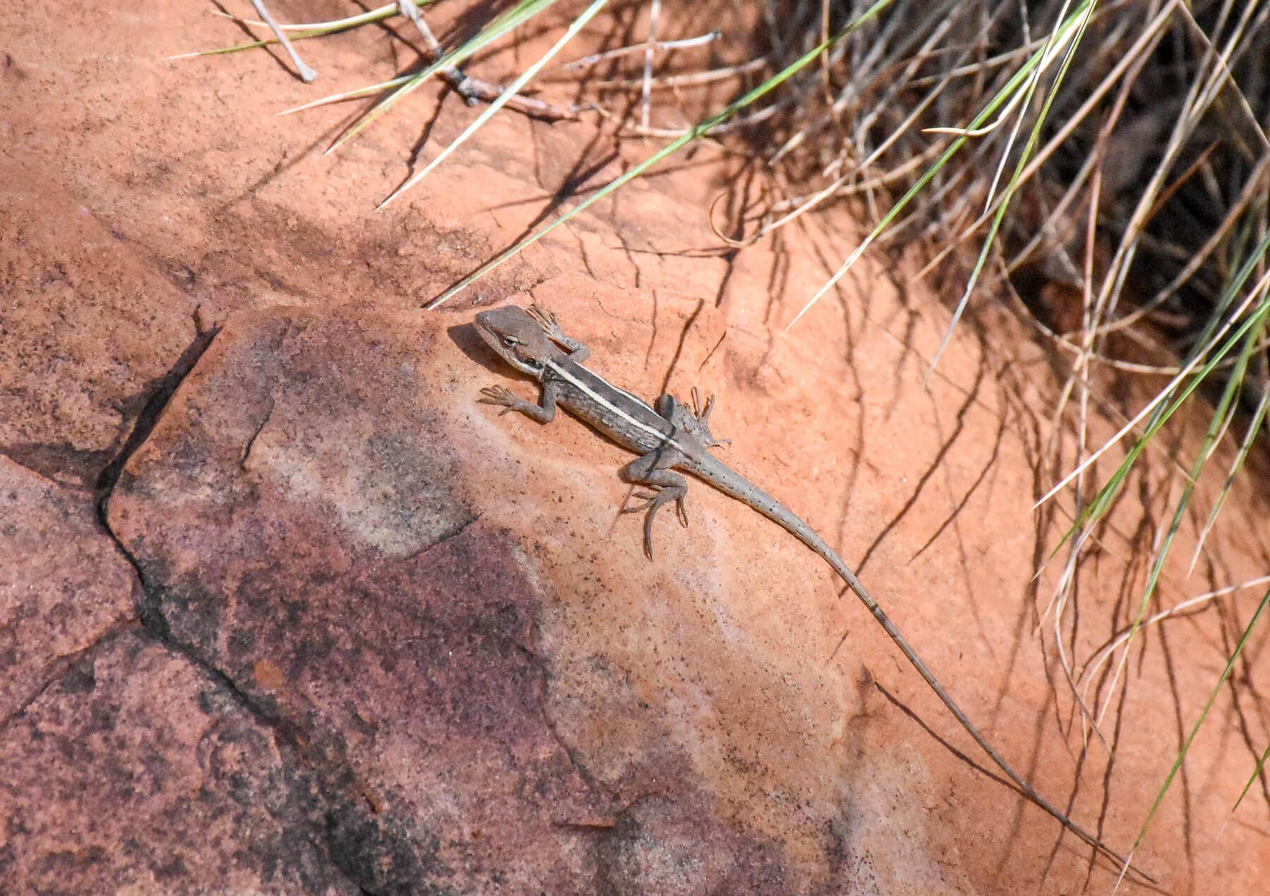 Small lizard sunbathing on a rock