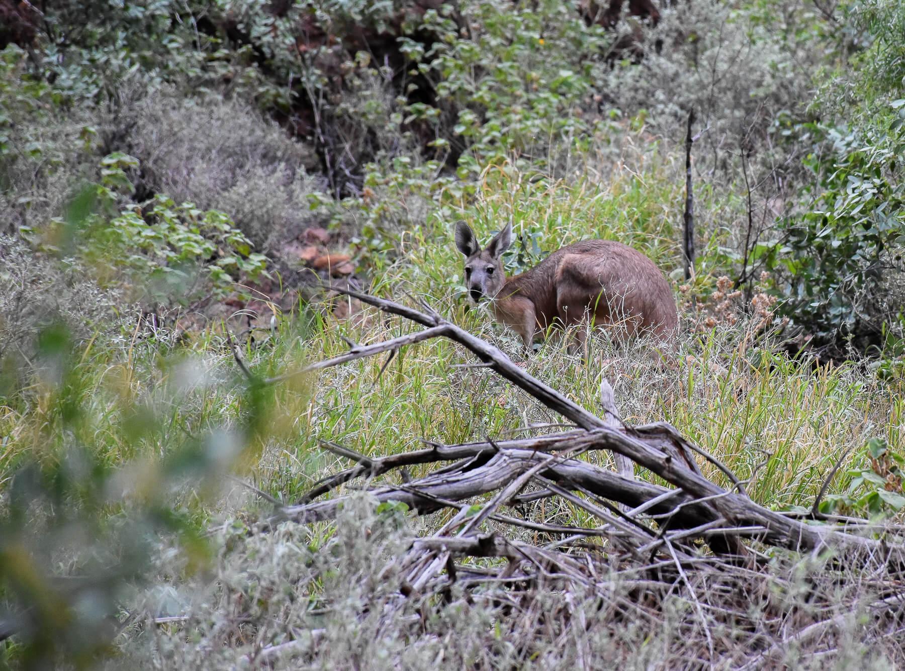 Walaroo (small kangaroo) looking at camera while eating grass