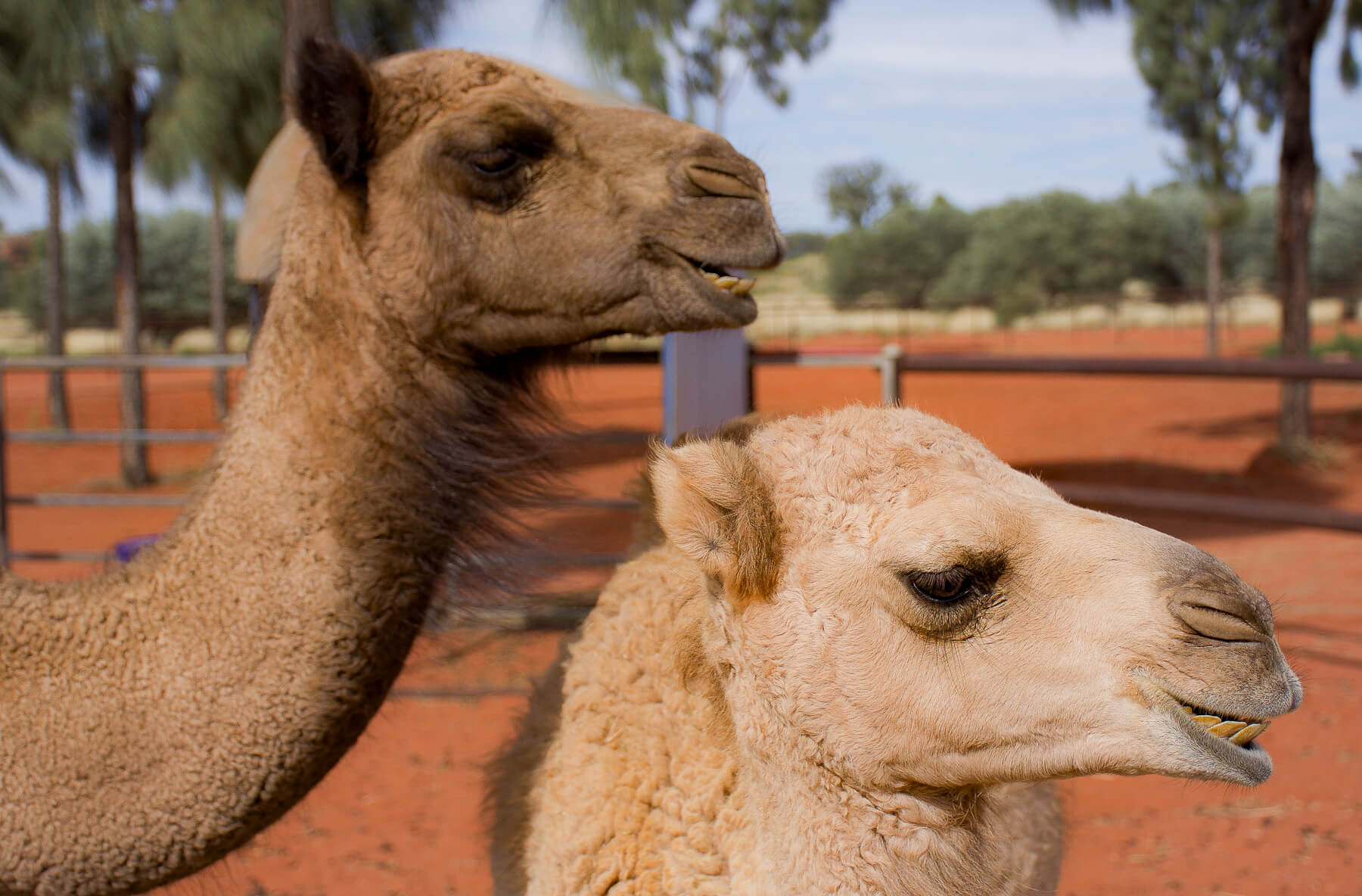 Side profile of 2 baby Camels (Zara and Ernie) in the Red Centre