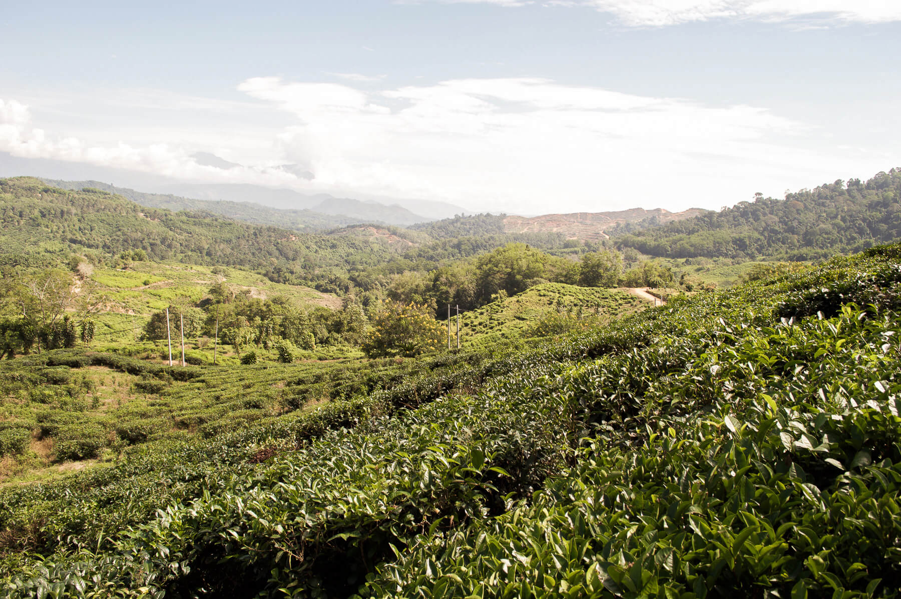 Tea plantations on the side of the hill with a beautiful mountain view