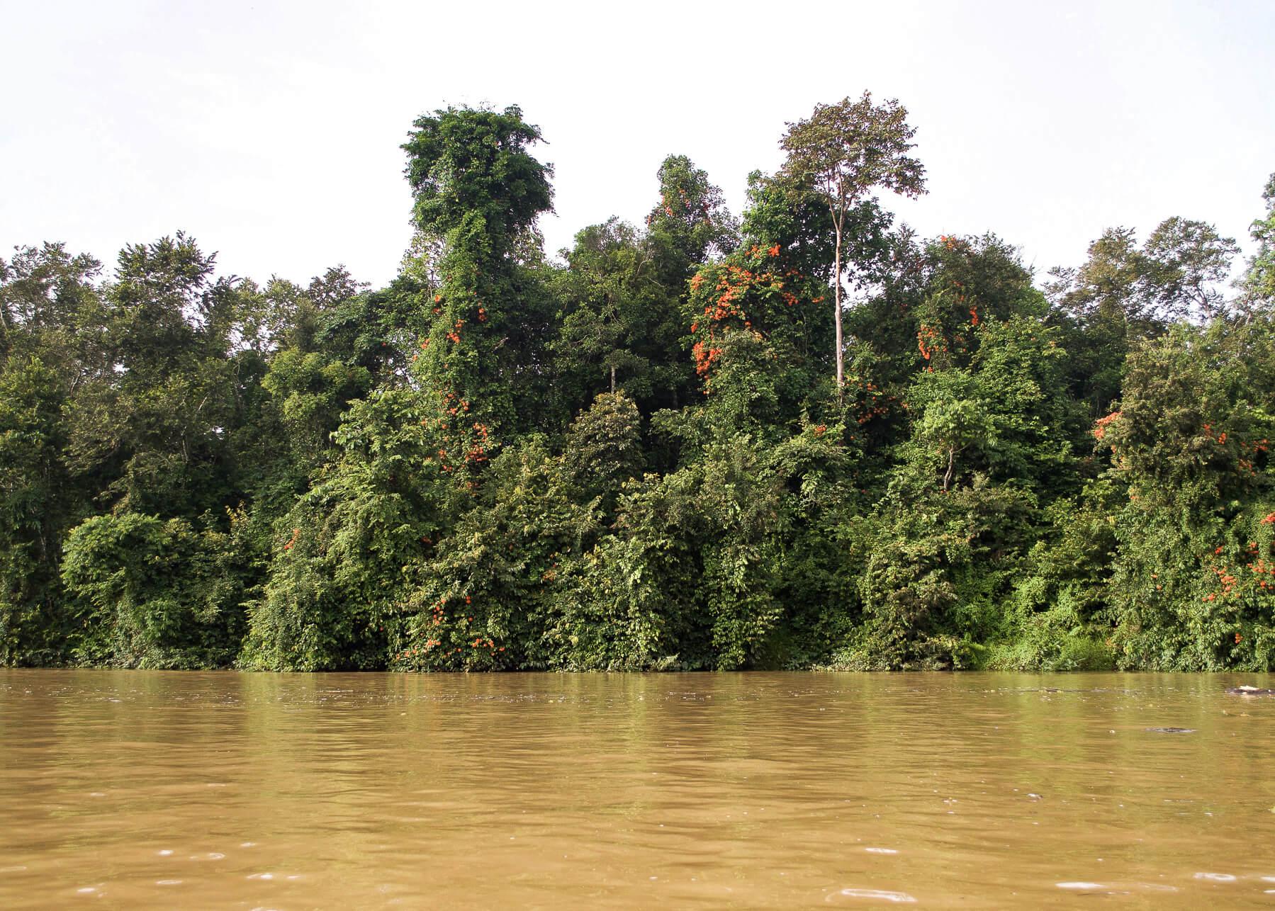 Kinabatangan river with luscious greenery on the banks