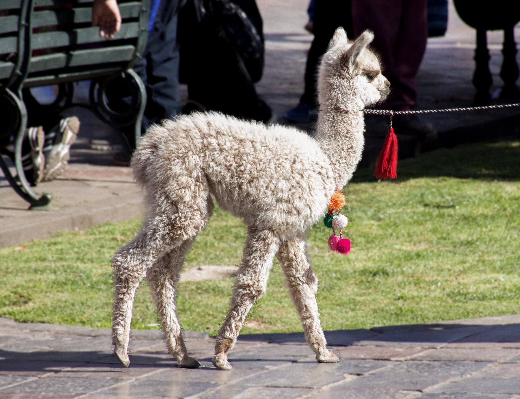 A white alpaca being walked through the streets via a chain and coloured pompoms