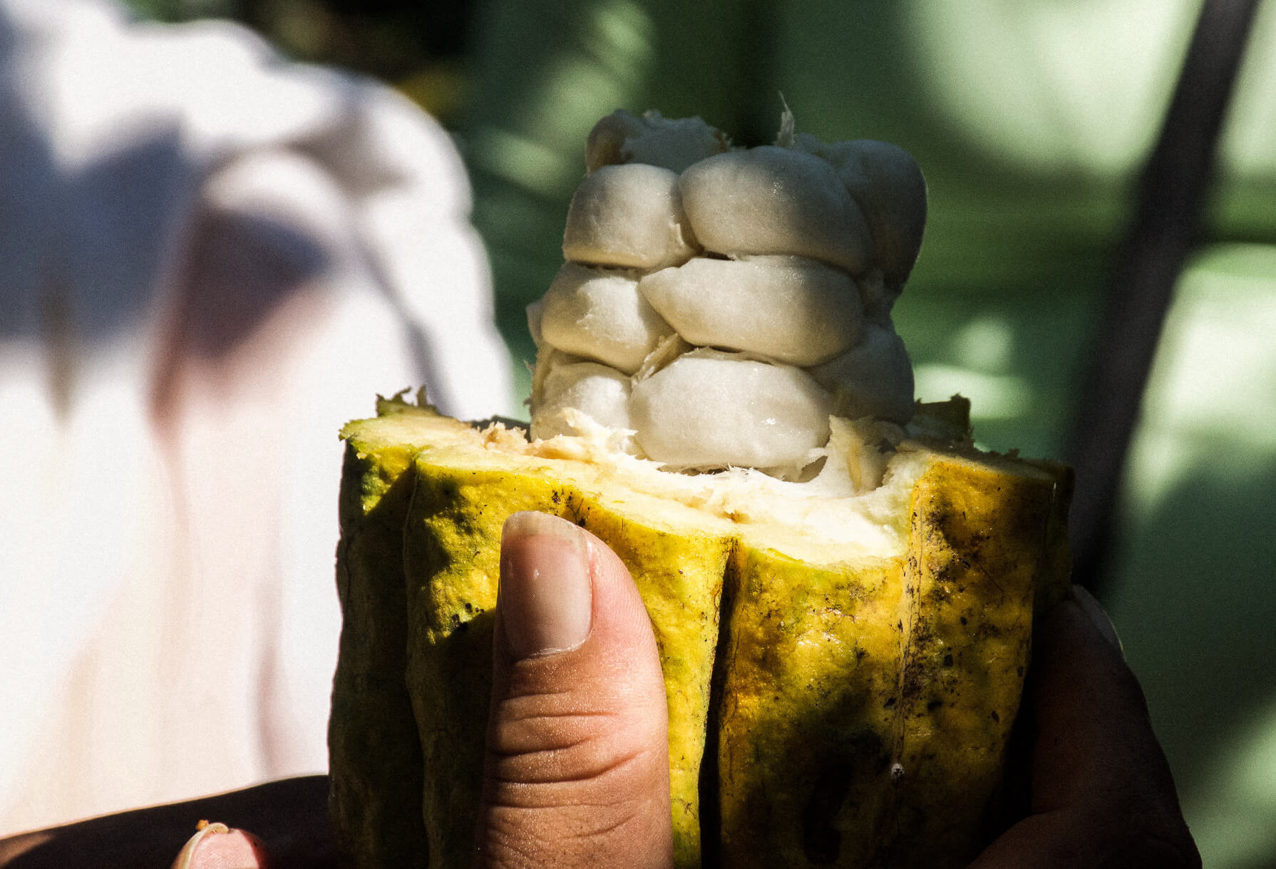Someone holding a yellow fruit with the edible portion sticking out - Cocoa bean fruit