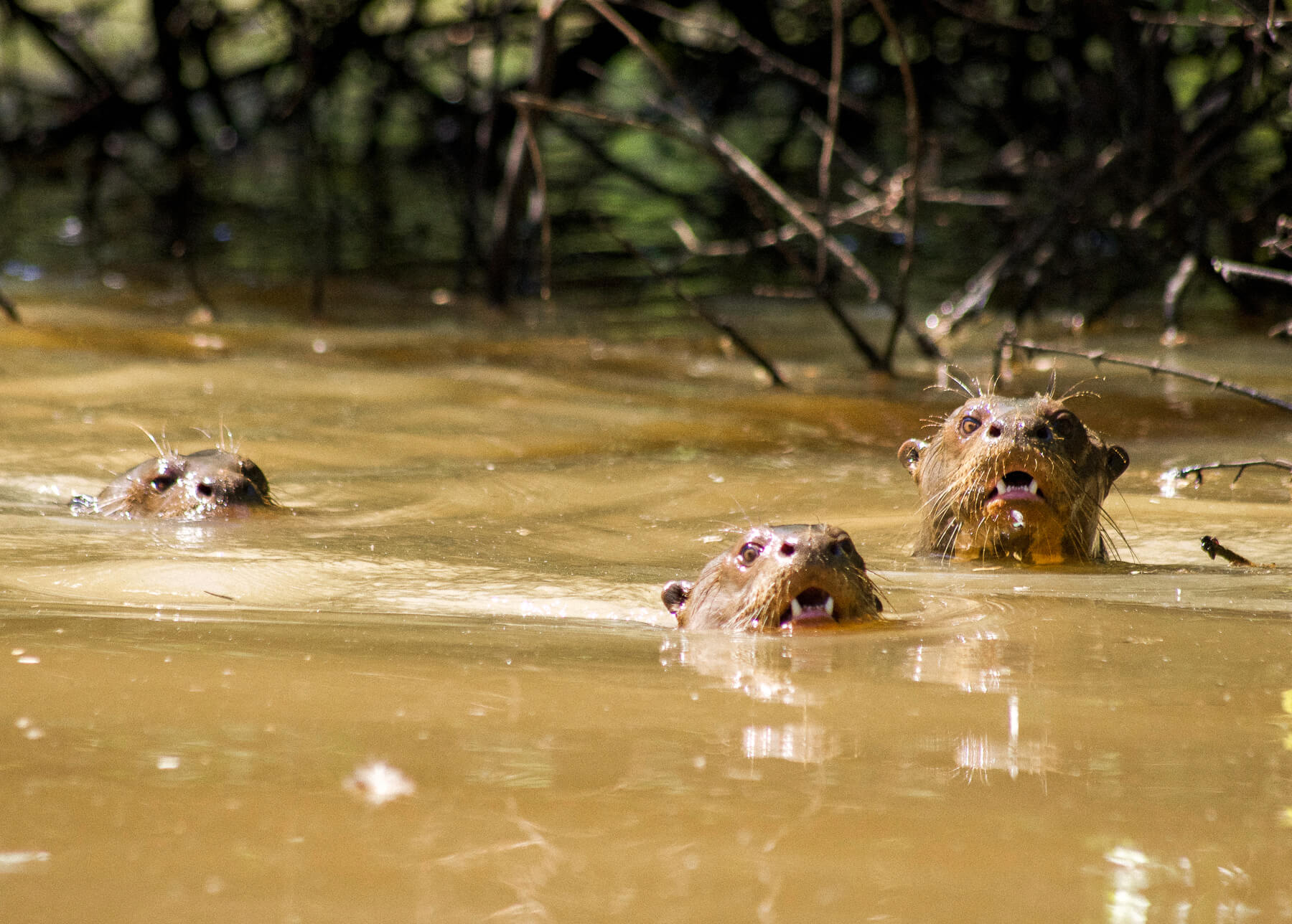 3 Giant River Otters poking their heads out of the murky water, bearing their teeth