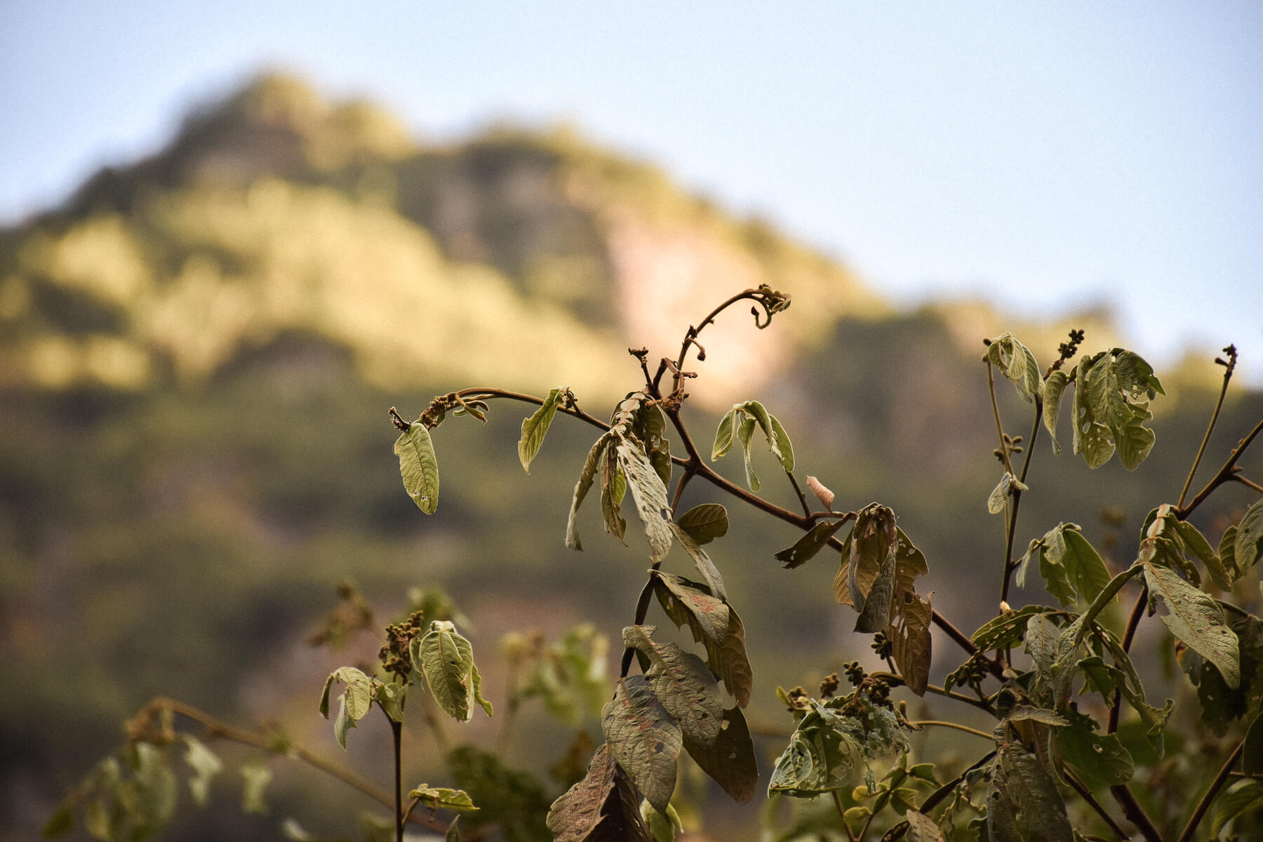 Crisp, clear green leaves with rugged hill completely blurred in the background