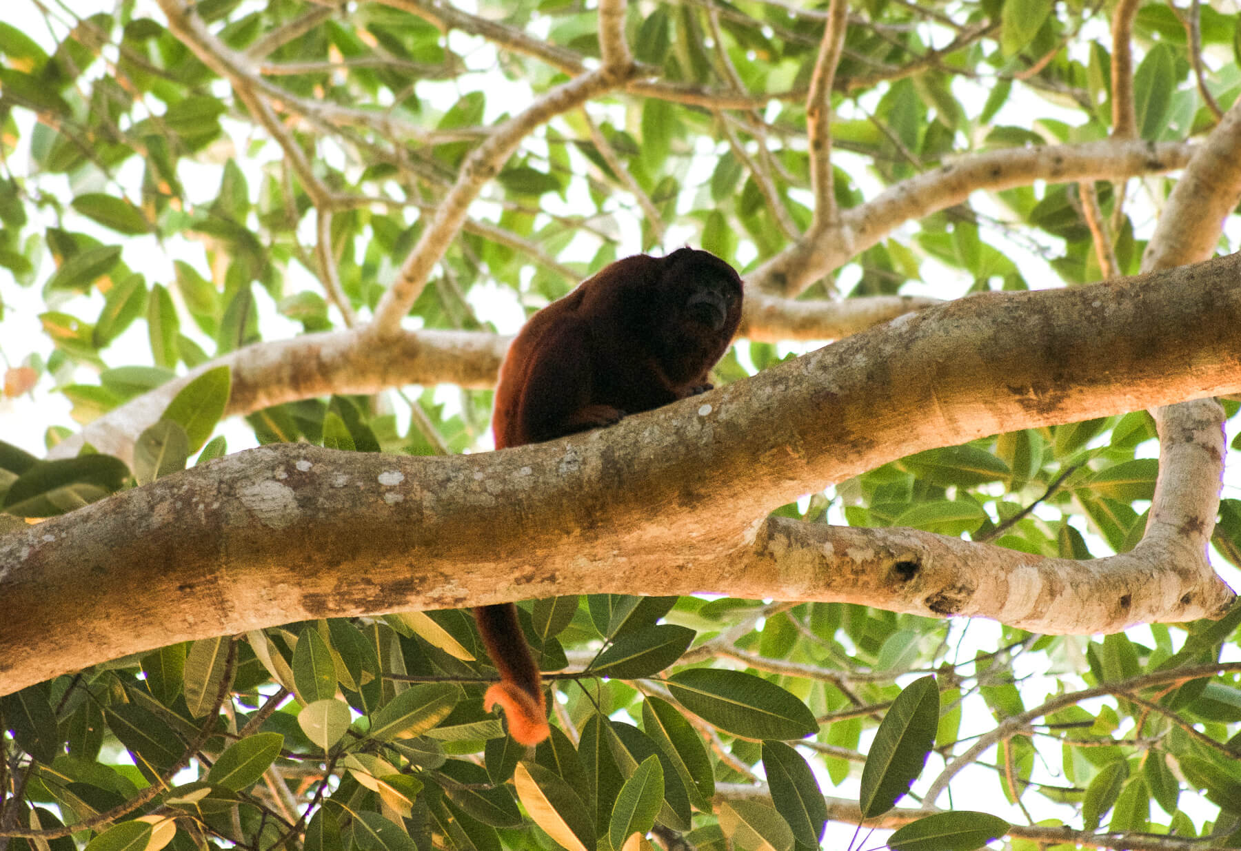 The daddy Howler Monkey sitting on a branch overlooking the world below