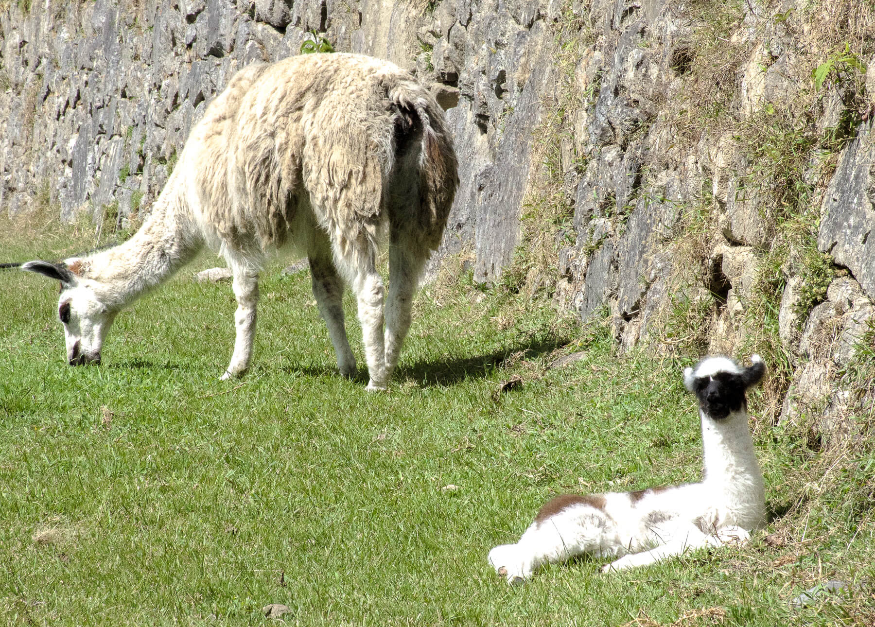a shaggy white llama eating grass with her fluffy baby close by