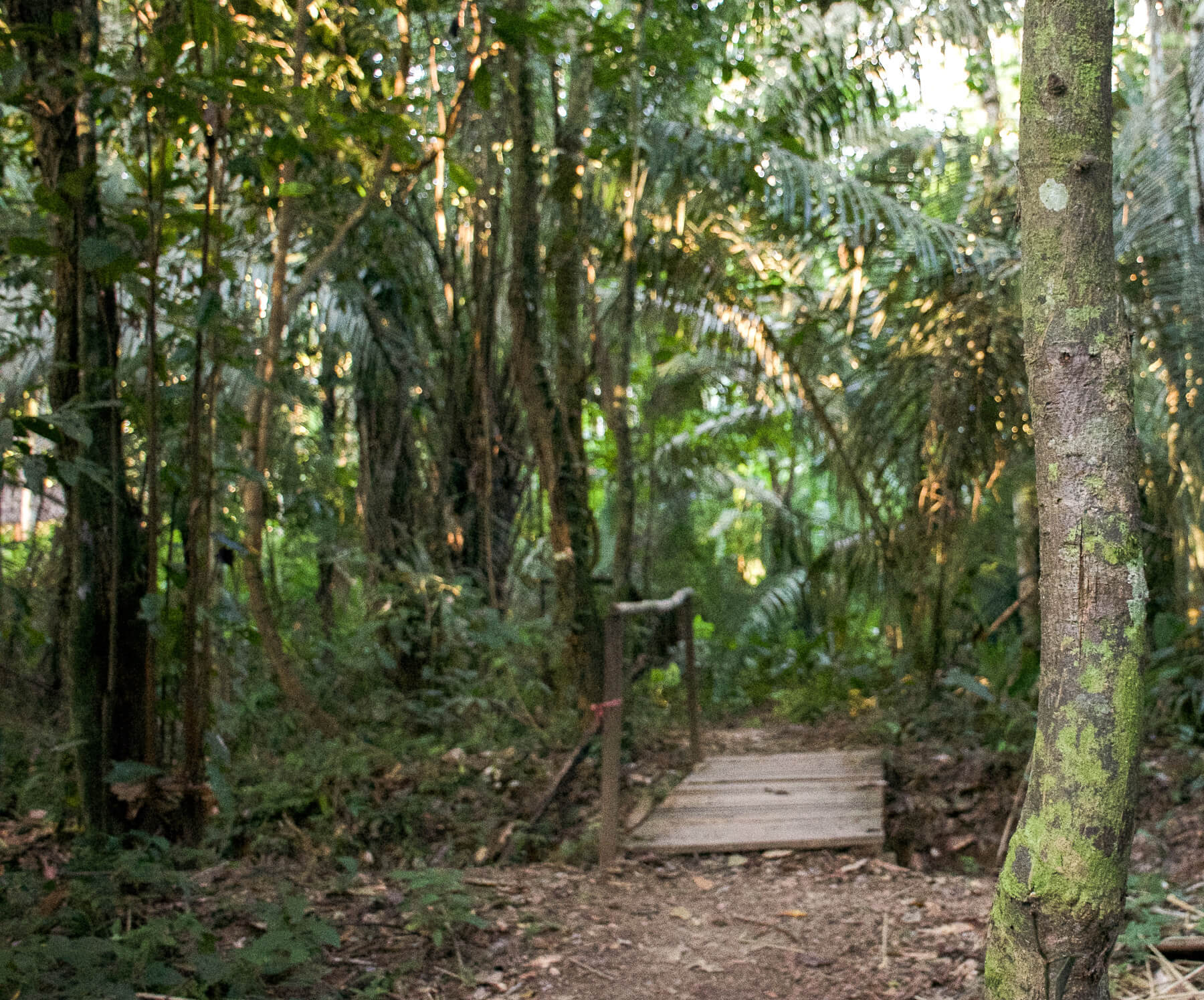 In the midst of the Peruvian Amazon Rainforest with a tree in focus, and a small bridge and continuation of the forest behind