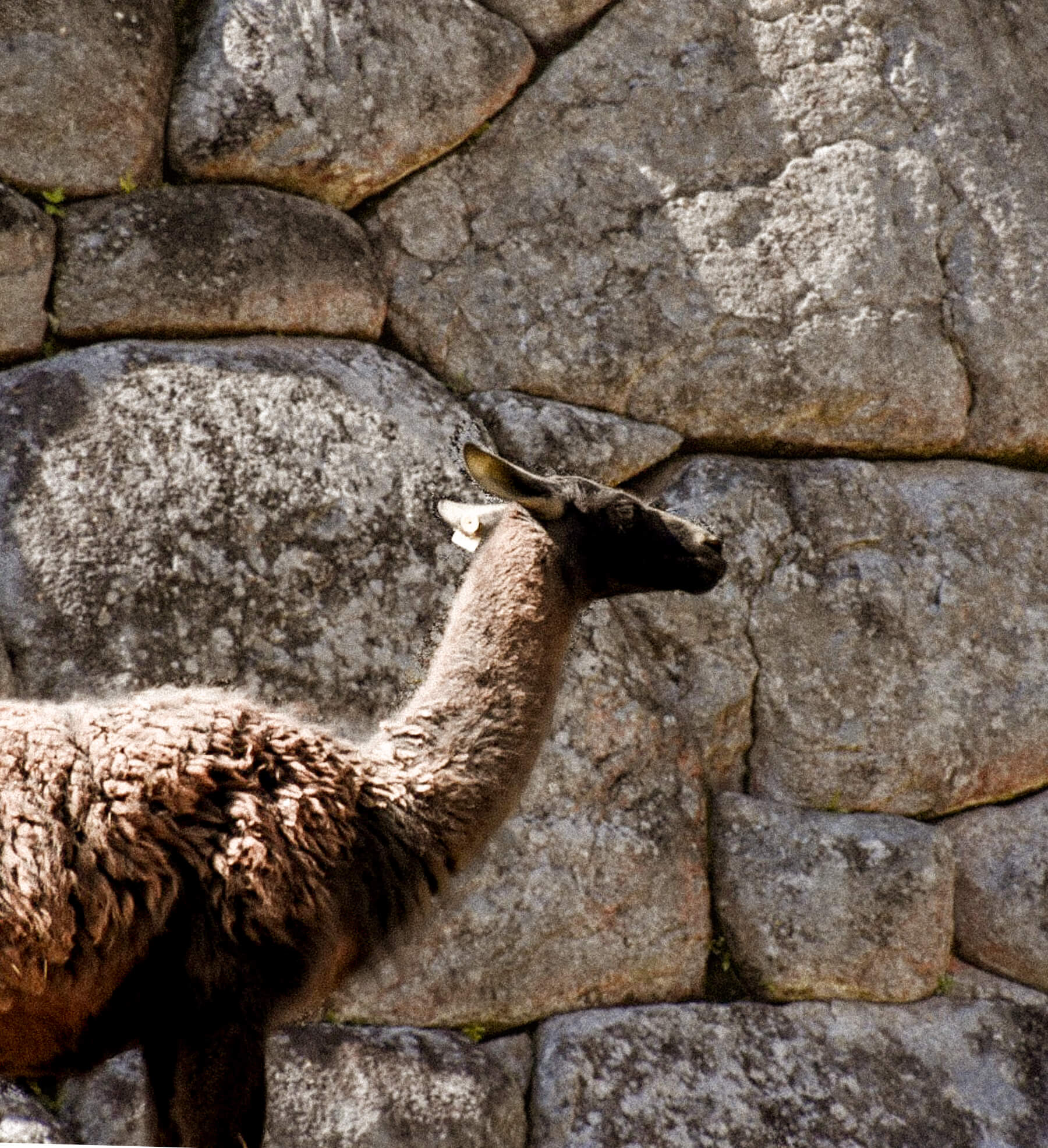 Side profile of a brown/black llama with a huge rock wall behind it