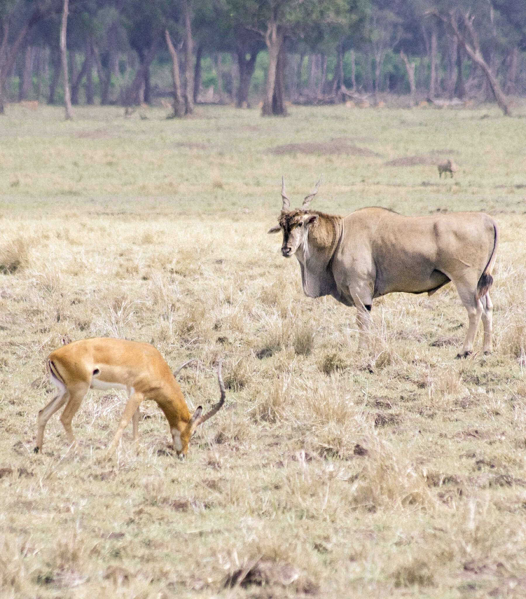 The largest antelope in the Maasai Mara, with a smaller antelope breed standing infront of it