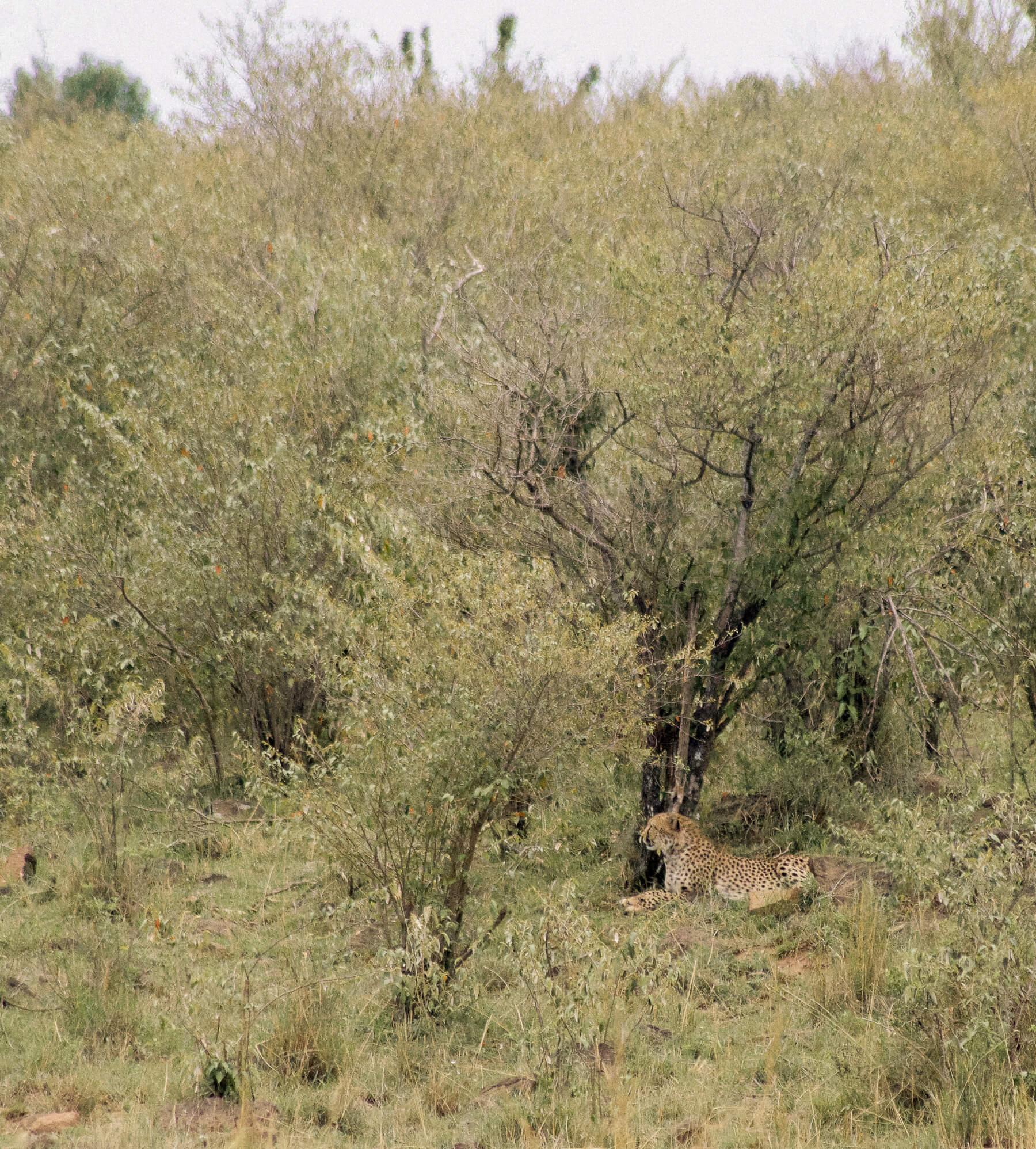 A cheetah sitting underneath a tree in the Maasai Mara