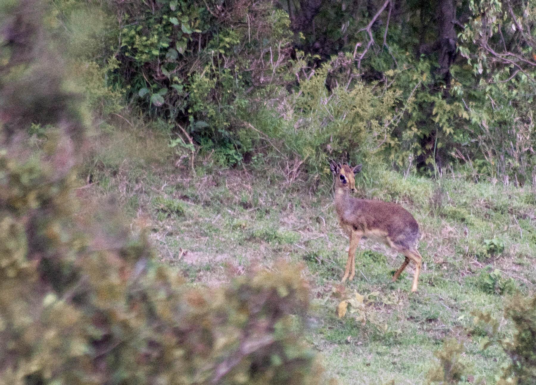 The smallest antelope in the Maasai Mara - A Dik-Dik
