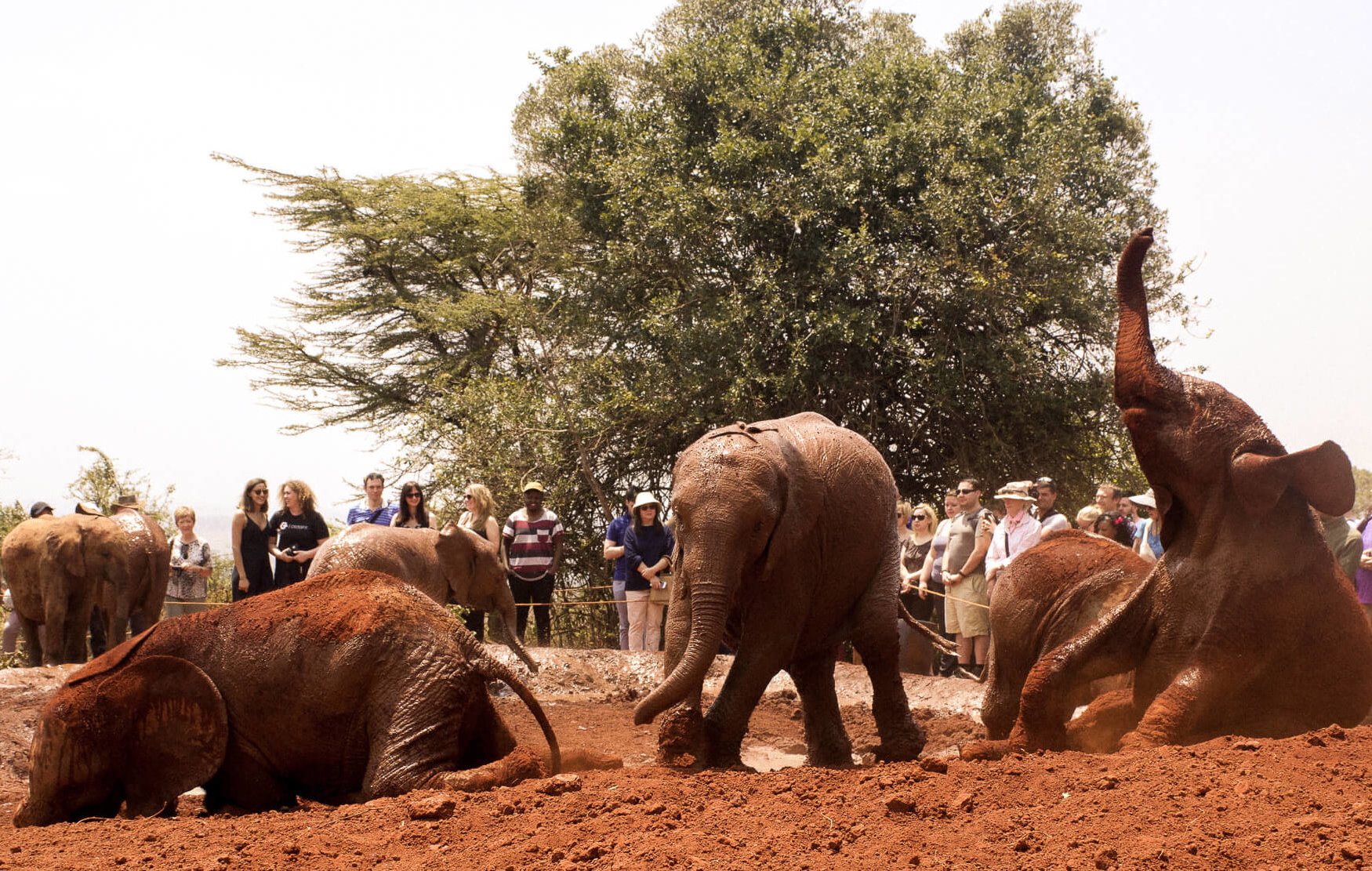 A group of baby elephants playing in a mud bath with a crowd of people watching behind them