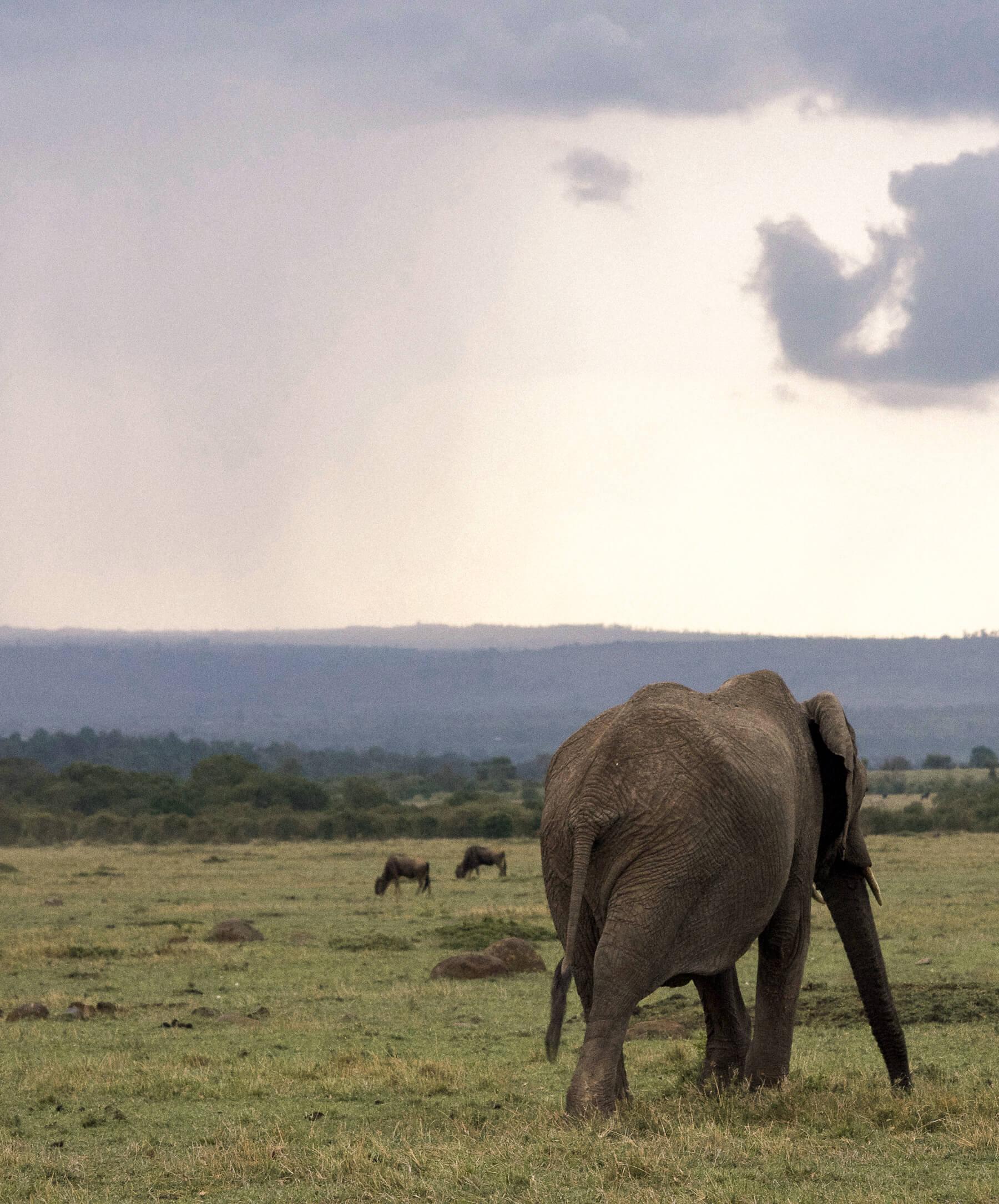 An elephant walking away from the camera towards a huge rain cloud