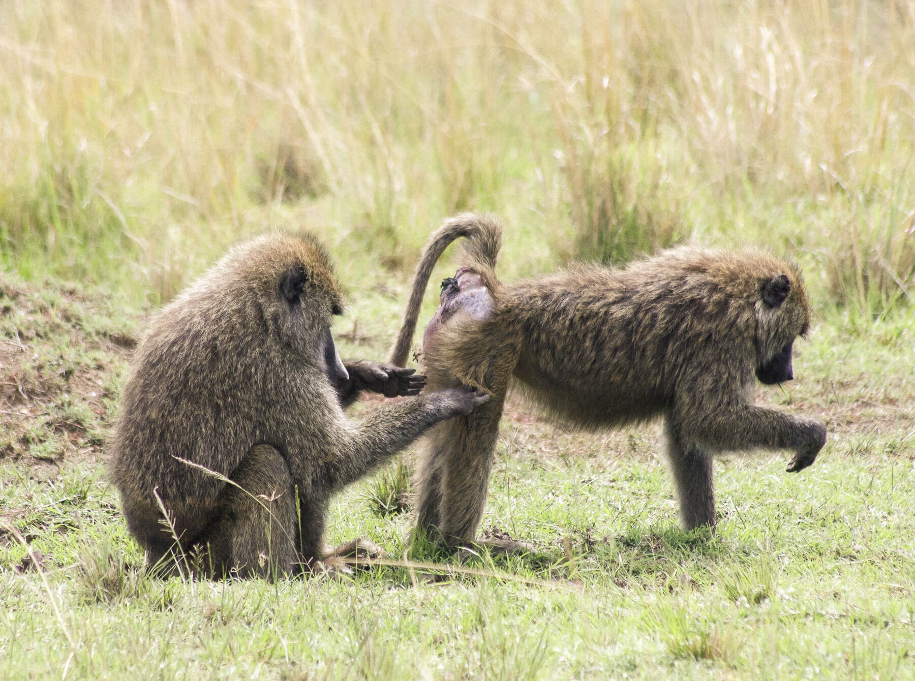 A male baboon grooming a females bottom while she eats grass