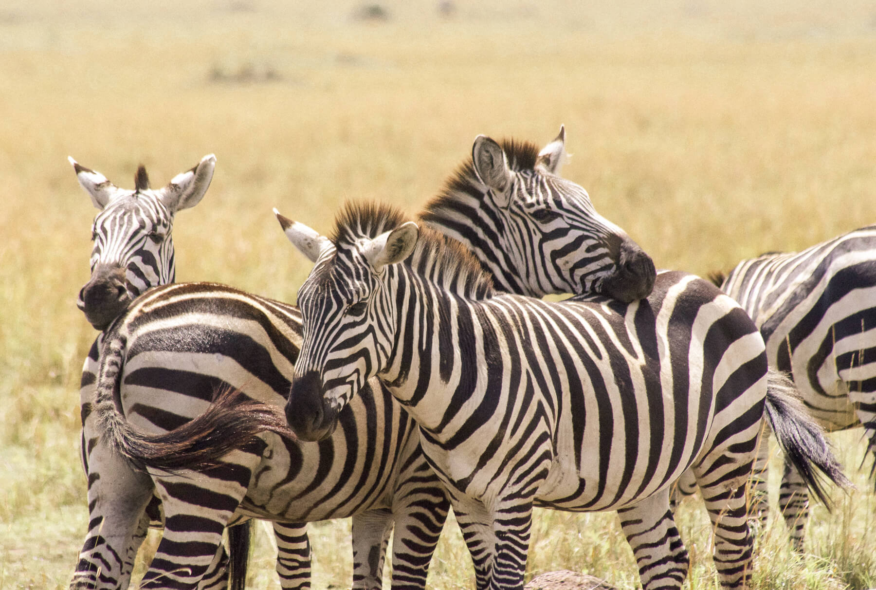 A herd of Zebra relaxing and resting their heads on one another