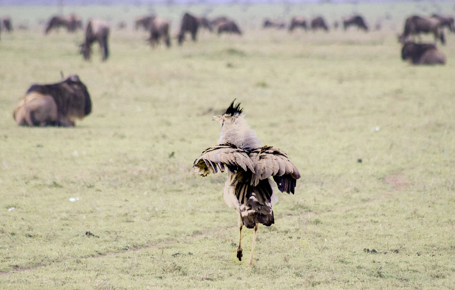 The largest bird in the Maasai Mara (Kori Bustard) walking towards a group of wildebeest, flapping its wings