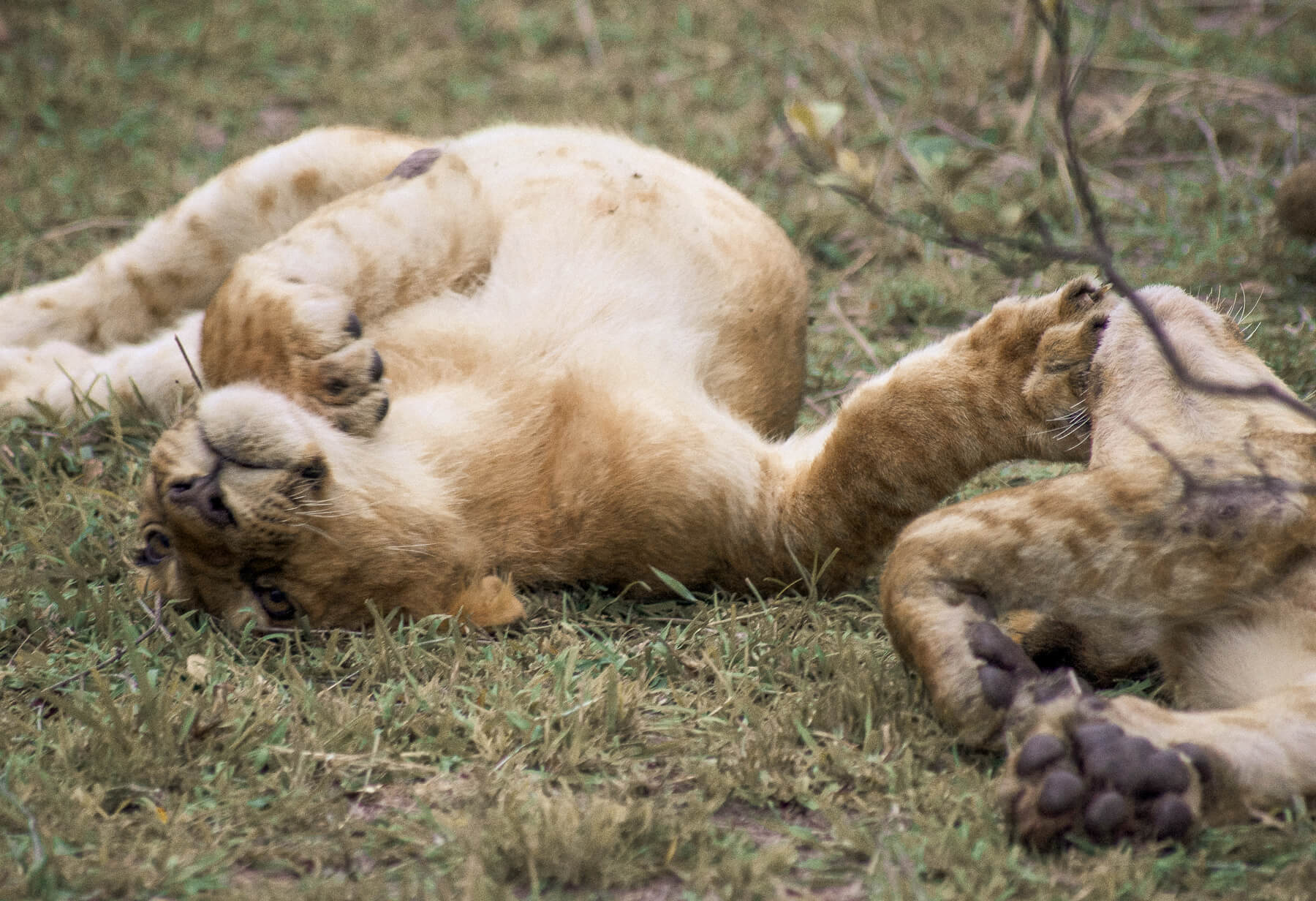2 young lions laying on their backs playing with each other in the grass