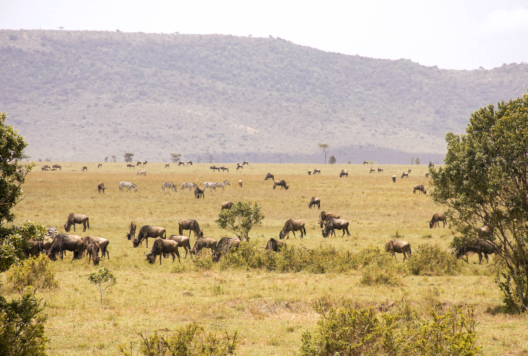 View from Losokwan Luxury Tented Camp at Zebra and Wildebeest