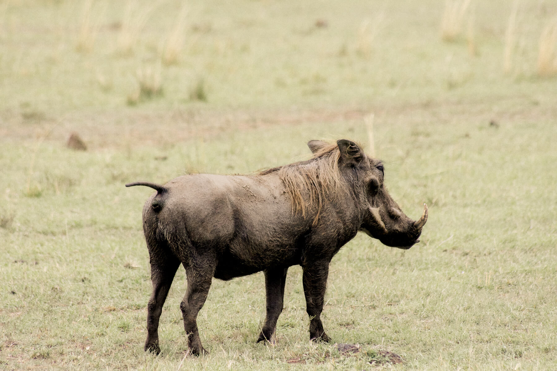 A male warthog facing away from the camera