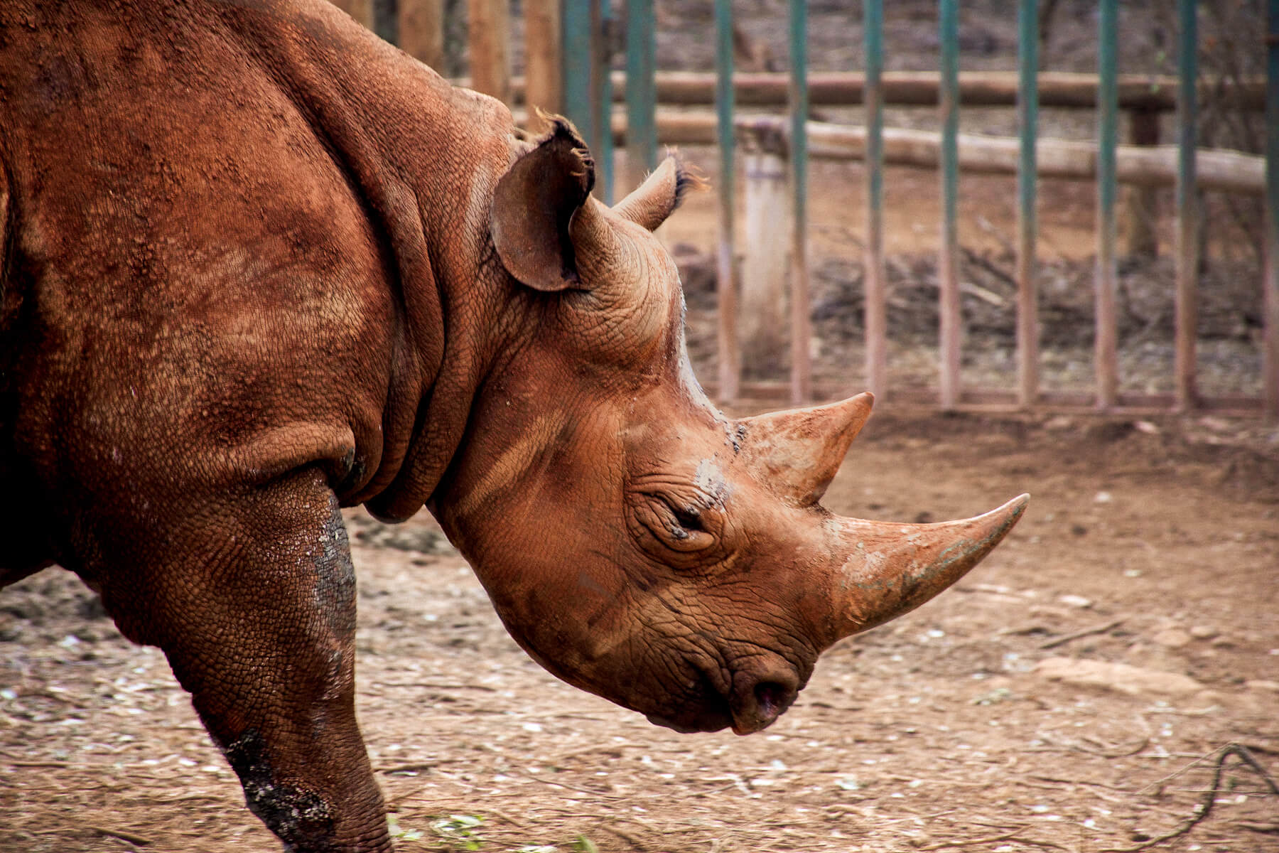 A big Rhinoceros walking in its pen (Maxwell, the blind Rhino at David Sheldrick Wildlife Trust)