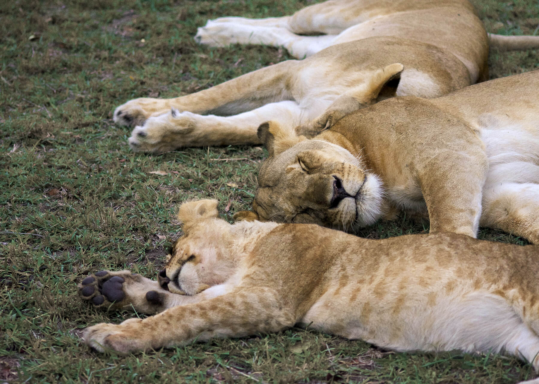 3 lions in a pride sleeping on their sides