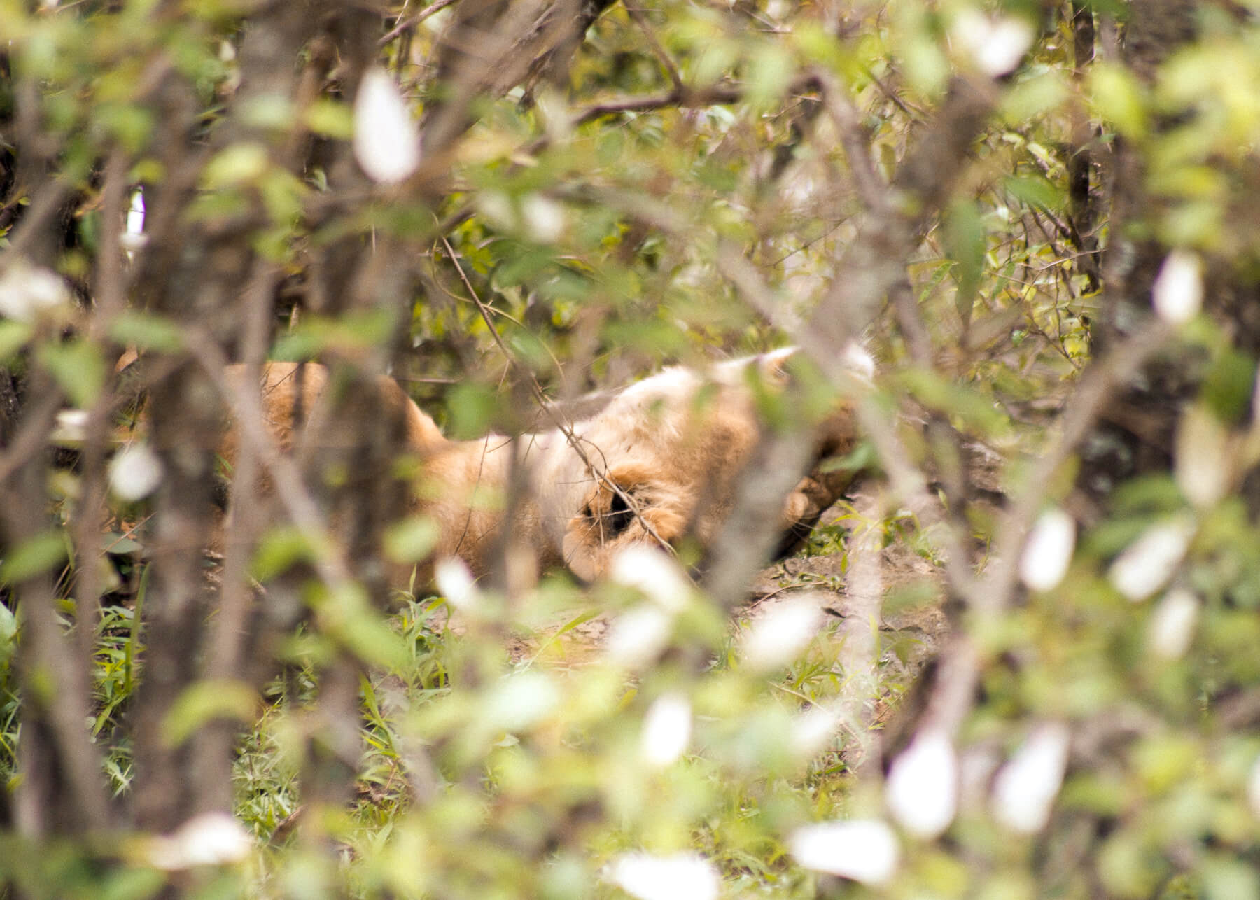 Peering through the branches of a bush, at a lioness laying on her back
