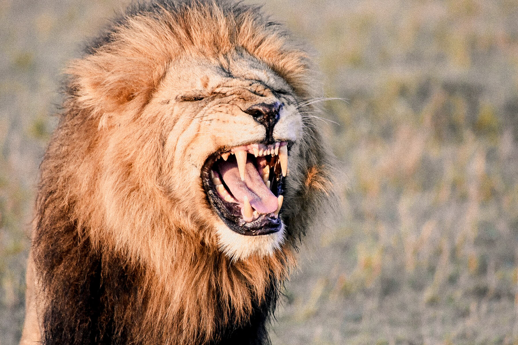 A male lion bearing his teeth after smelling a female lions spray