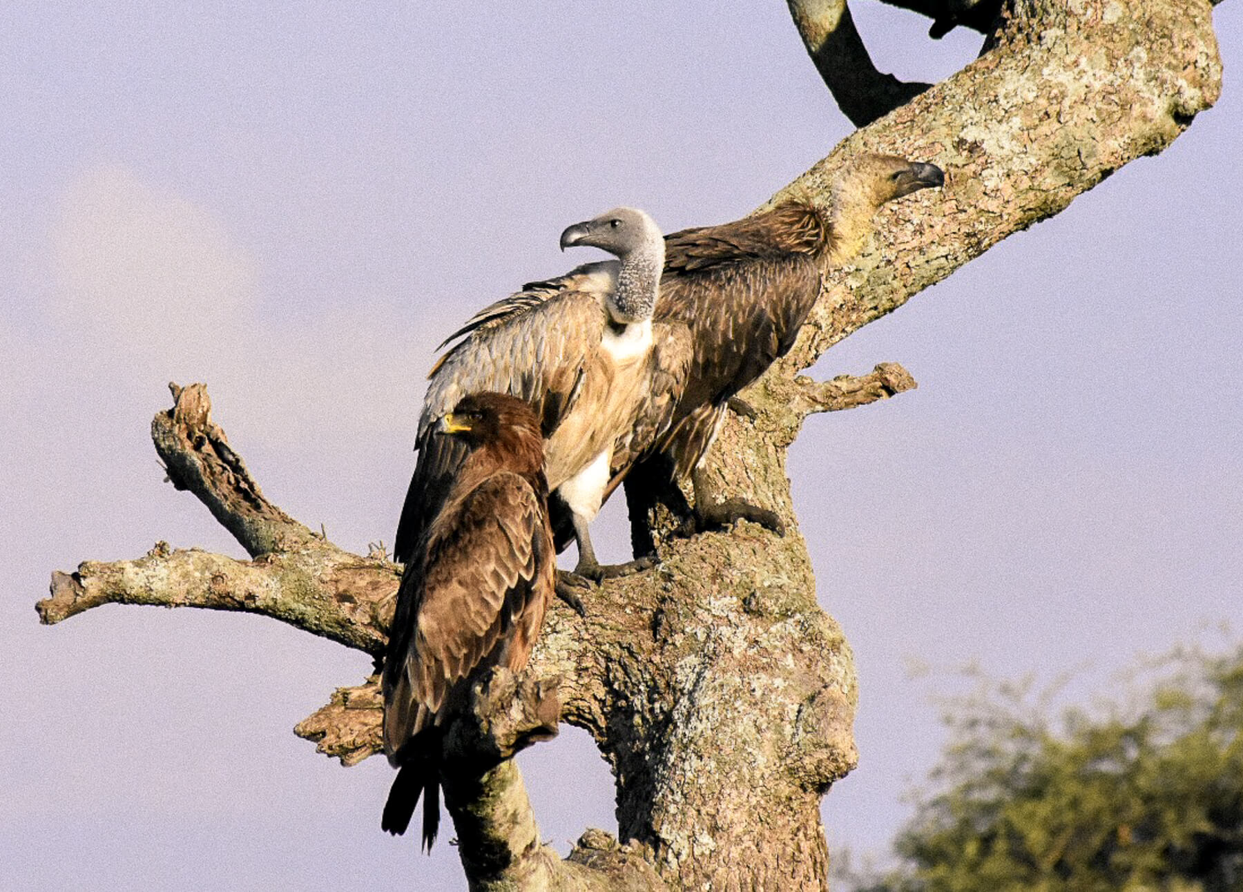 2 vultures and an eagle perched on the trunk of a bare, bendy tree